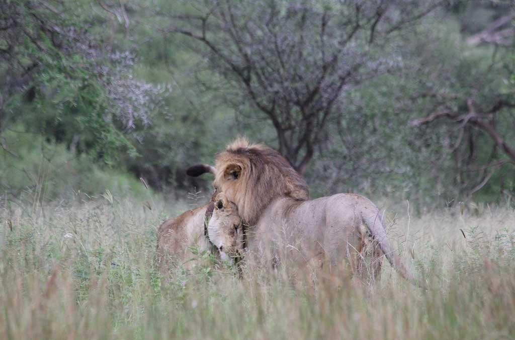 lion-223002_1280