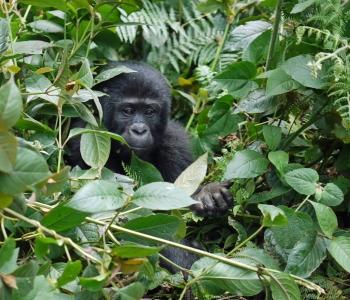 gorilla-1386501_1280
