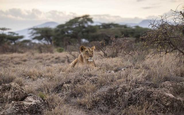 lion-802051_1280