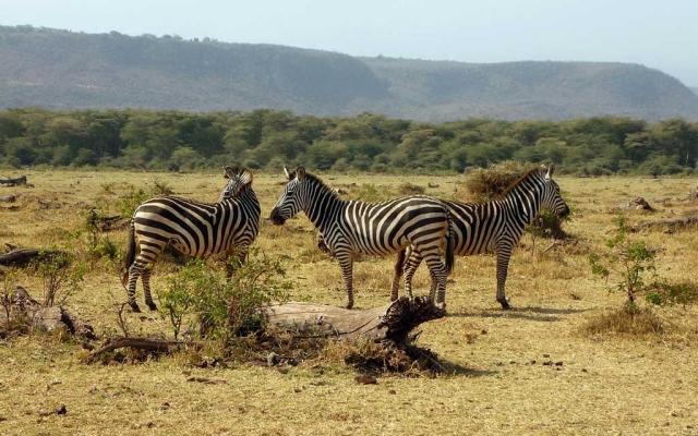 zebra-2034004_1280
