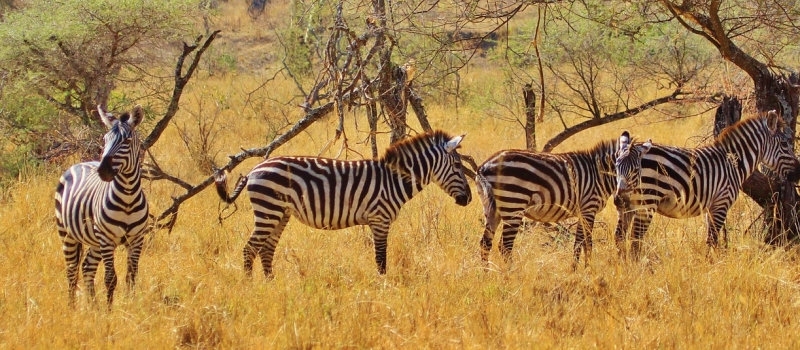 Zebra Safari Zebras Animal Africa Mammal